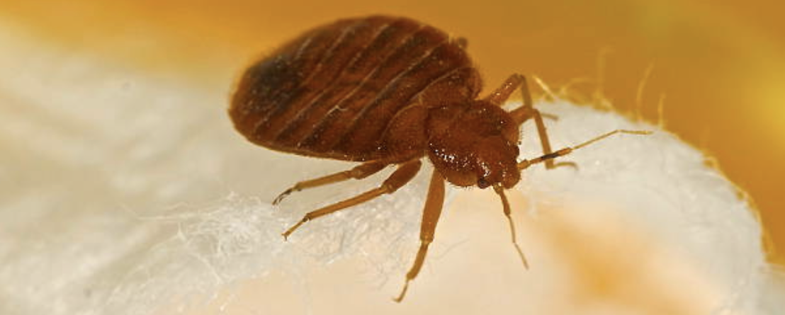 Layton Bed Bugs Let Our Layton Exterminators Help You